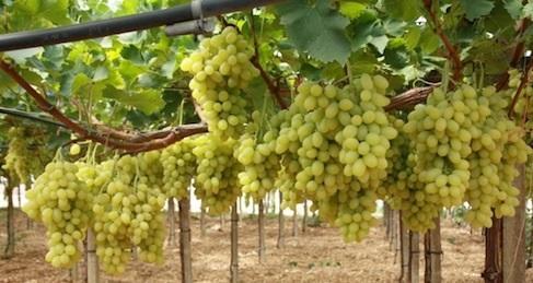 Menace sur le raisin de table de la r gion puglia - Tailler la vigne raisin de table ...